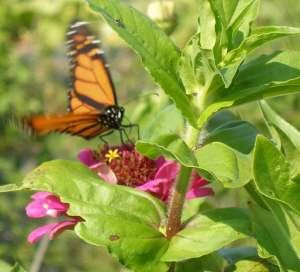 Butterfly1b-web